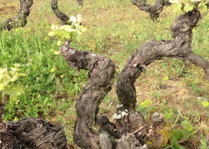 Vignes de mauzac rose chez les Plageoles